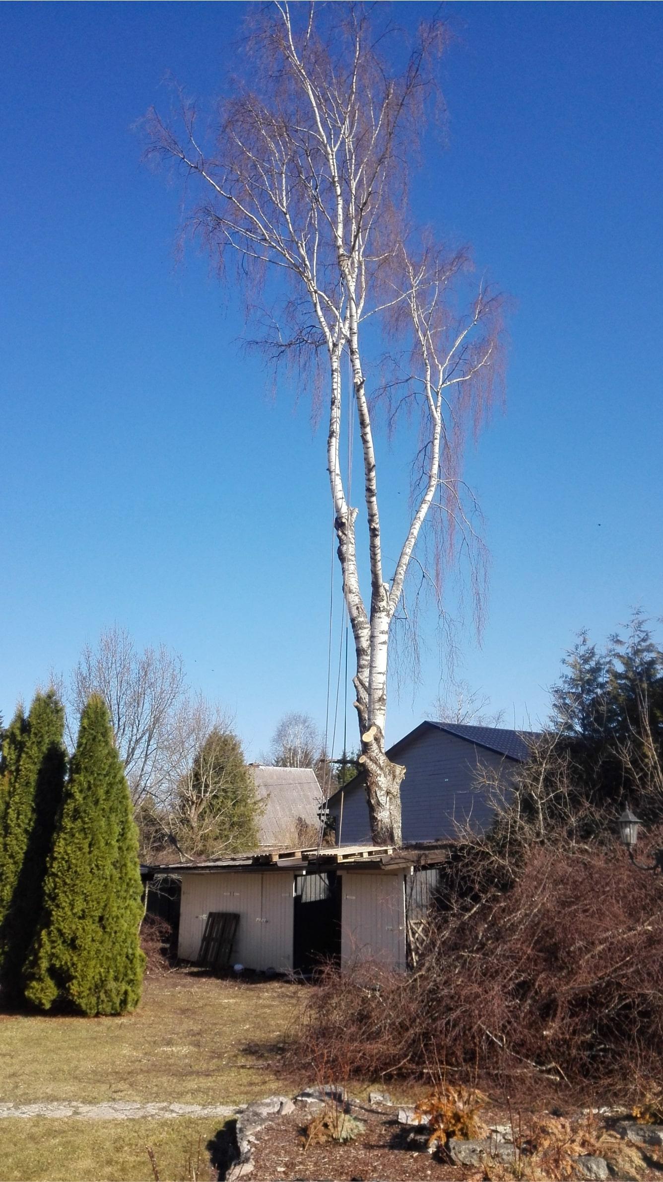 Ohtlike puude langetamine, ohtlike puude raie